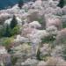 吉野山の桜2019の開花予想と見頃の時期は?駐車場やアクセス情報も